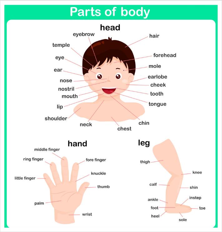 اسماء اعضاء الجسم بالانجليزية مترجمة بالعربية مع الصور وطريقة النطق تعلم اللغة الانجليزية